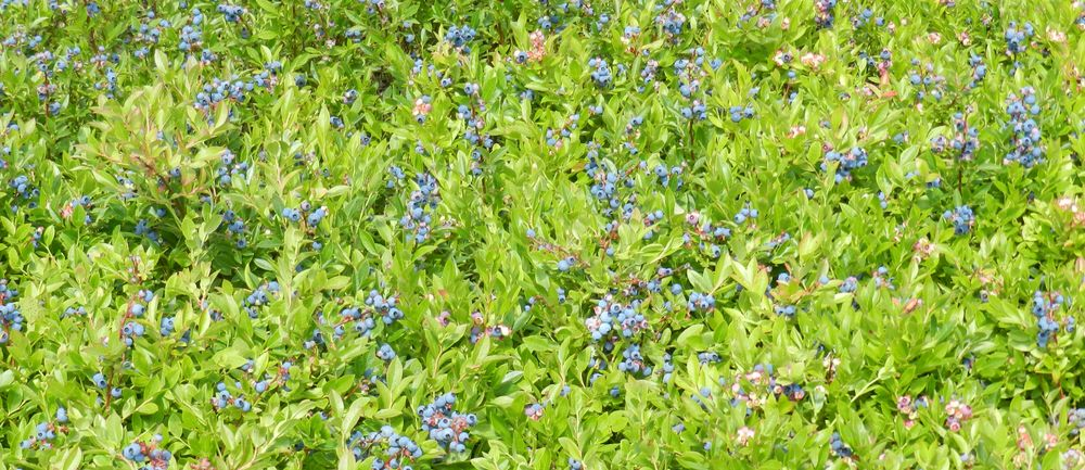 A field of wild blueberries