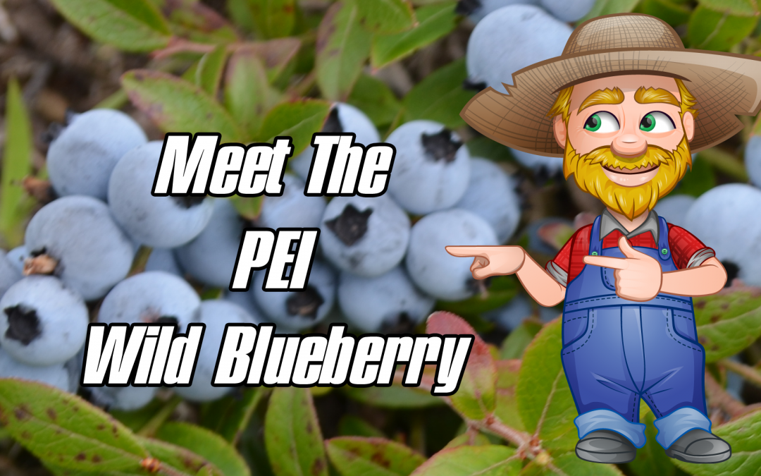 Meet The Wild Blueberry