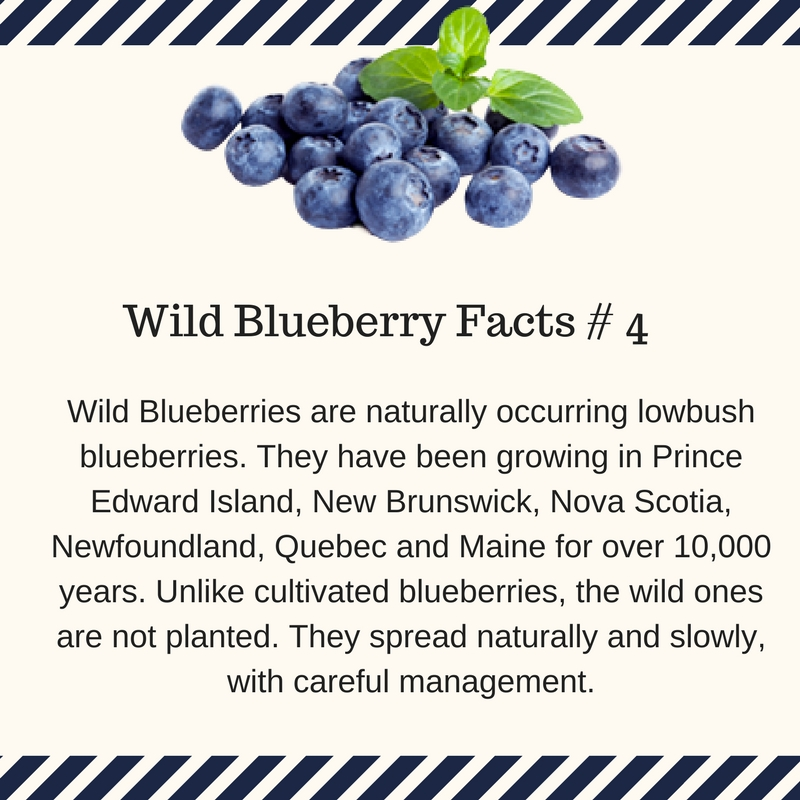 Wild blueberries occur naturally.