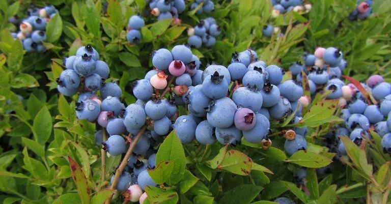 Close up of wild blueberries