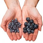 Differences Between Wild And Cultivated Blueberries